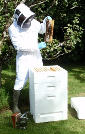 Beekeeper inspecting superframe of honey from a poly hive